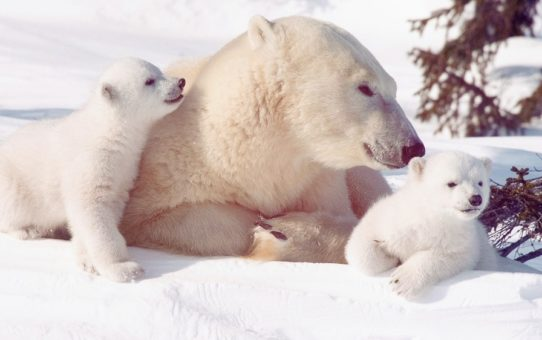 Polar bear watching in Canada