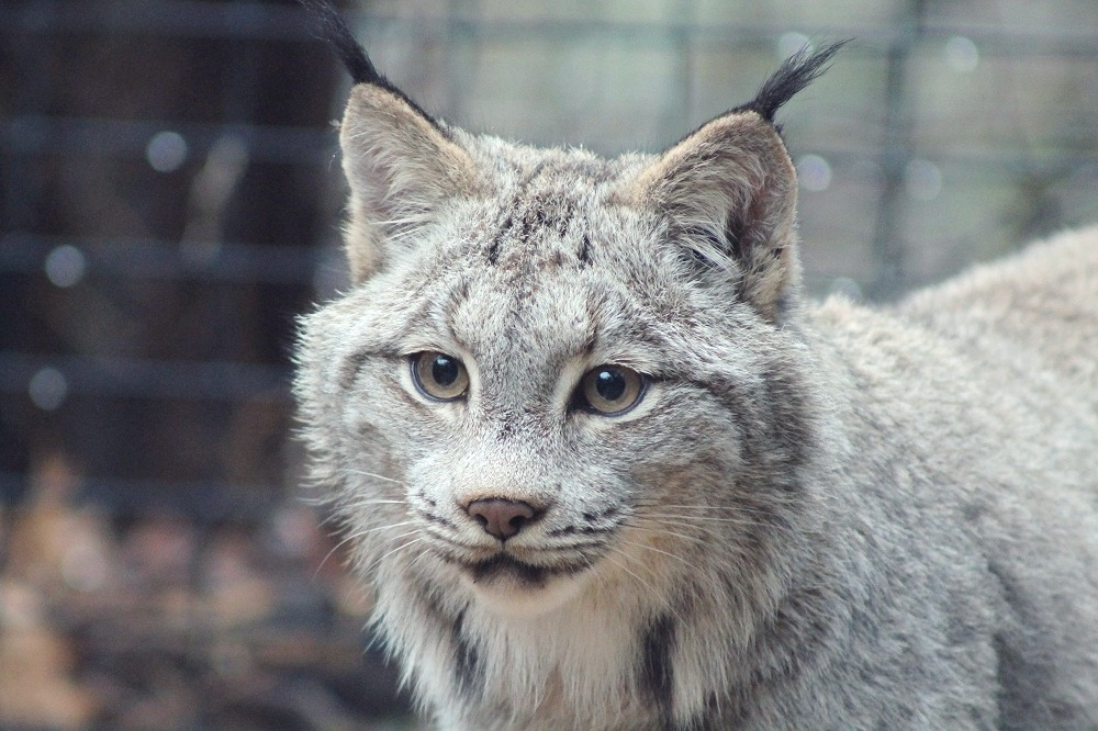 Protecting critical habitat for lynx